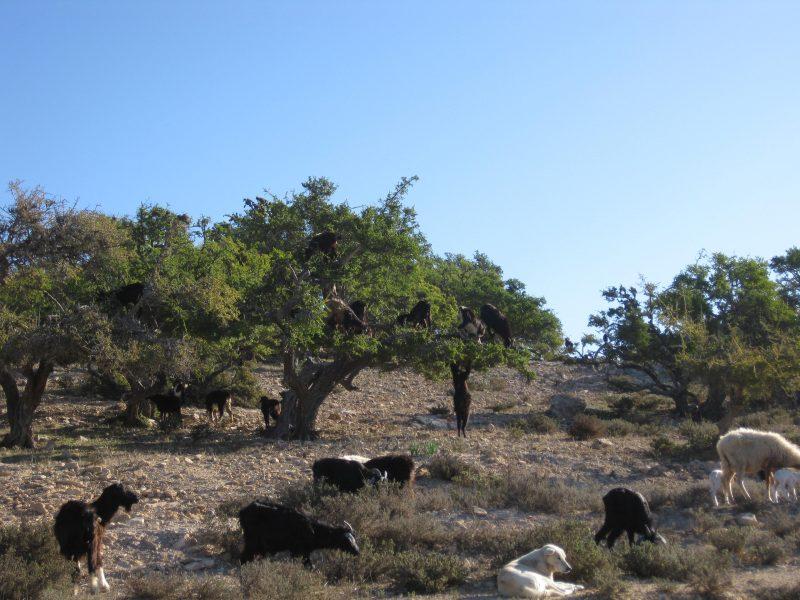 On the road - Ziegen mögen Arganienbäume. Was sie übrig lassen wird, meist von Frauenkooperativen, zu edlem Öl verarbeitet.